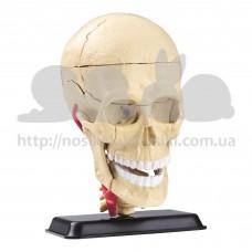 Набор для исследований Edu-Toys Модель черепа с нервами сборная 9 см SK010